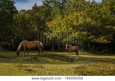 Horses grazing in the New Forest, Hampshire, UK.