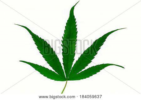 Beautiful vivid green marijuana cannabis ganja leaf isolated on white