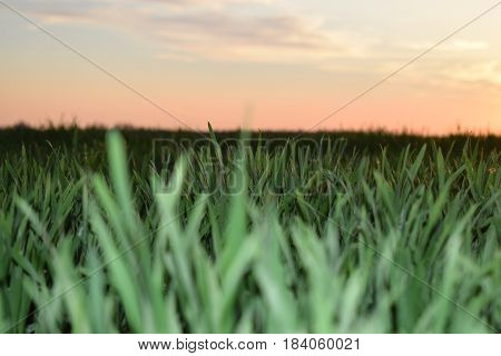 Spring awakening on agricultural land, wheat in the field