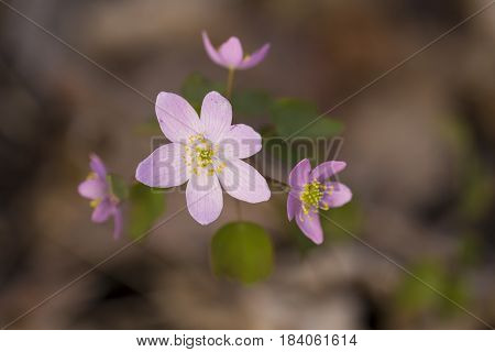 A closeup of purple wildflowers in spring.
