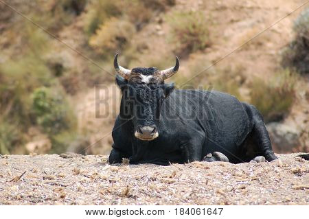 Great black horned bull on a beach in Corsica