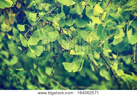 Green and yellow fall leaves of Gingko Biloba - healing plant, nature vintage background