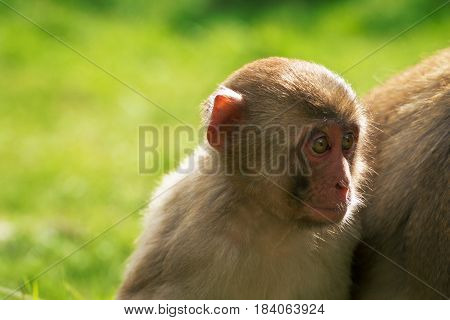 Japanese macaque in forest. Child snow monkey. Endengeraged animal from IUCN. Little baby makak. Japan monkey.