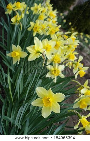 Close Up Of Flowering Yellow Narcissuses (diagonal)