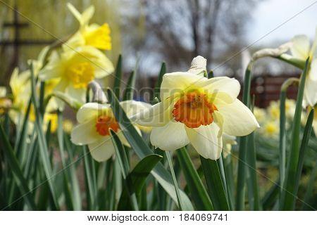 Close Up Of White Narcissus With Orange Trumpet-shaped Corona