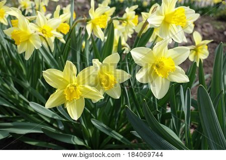Lots Of Yellow Daffodils In The Park In Spring (horizontal)