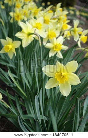 Close Up Of Flowering Yellow Narcissuses (vertical)