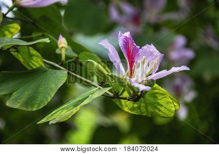 The Chinese redbud flower closeup in garden