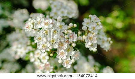 Hawthorn blossom in April close-up view with wide angle lens.