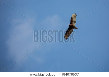 Turkey Vulture (Cathartes aura) soaring in with wings fully extended in a blue sky