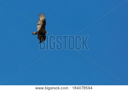 Turkey Vulture (Cathartes aura) soaring in a Wisconsin blue sky