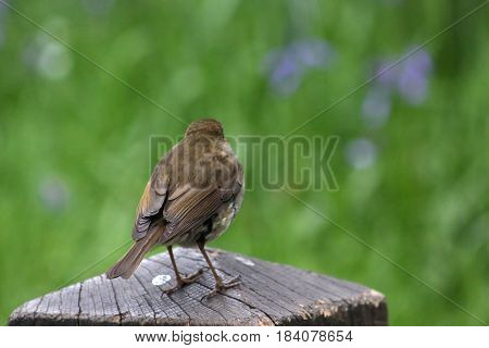 A robin perched on a wooden pole getting ready to fly away