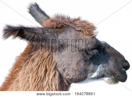 Beautiful lama portrait on a white background