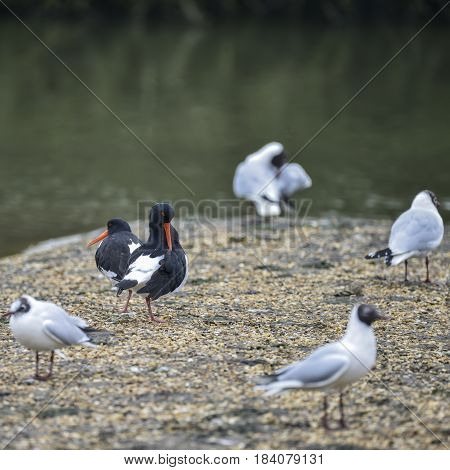 Pair Of Oystercatchers Haematopus Ostralegus On Gravel Island Surrounded By Gulls In Spring