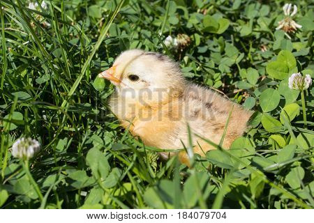 in the grass disappeared little white chick summer