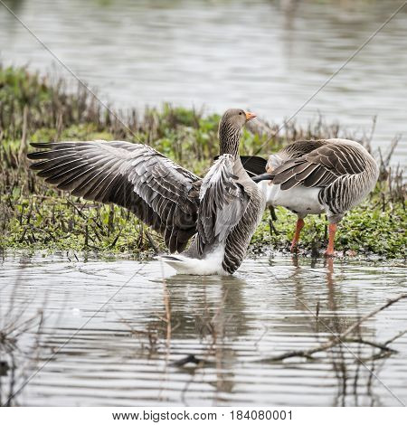 Greylag Goose Anser Anser Flapping Its Wings On Lake In Springtime