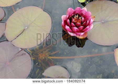 Water Lily Conqueror