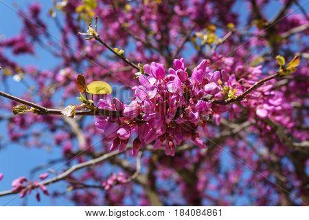 Closed up of pink Judas Judasbaum (Cercis siliquastrum) flowers sprouts in daylight sunshine.