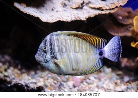 Butterflyfish In Red Sea