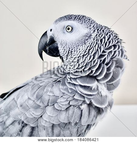 African grey parrot on the table looking