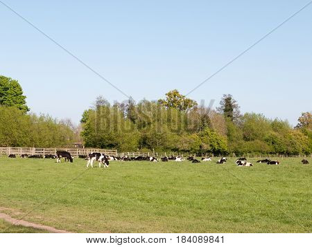 Lots Of Cows In A Field Many Colors And Shapes And Sizes Grazing