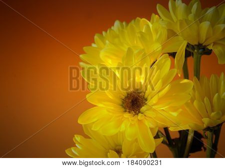 A small bunch of yellow daisies on a burnt orange colored background. There is copy space on the left side. Dark vignette added.