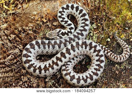 beautiful crossed adder male most common venomous snake from Europe