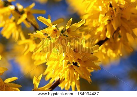close up of beautiful yellow forsythia flowers