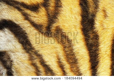 close up of real tiger stripes animal pelt texture