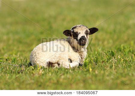 cute mottled lamb standing on green grass lawn