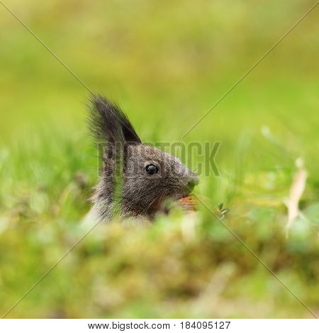 cute squirrel portrait hiding on green lawn ( Sciurus vulgaris )