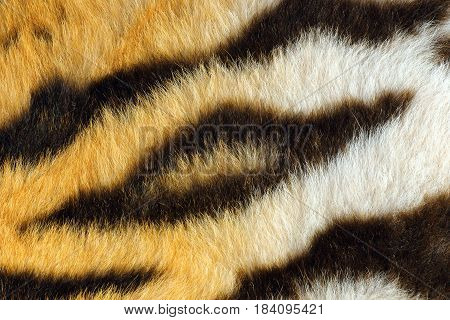 detail of beautiful black stripes on tiger pelt real animal fur texture