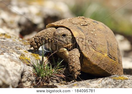 dirty greek turtoise in natural habitat ( Testudo graeca animal hatched from hibernation in early spring )