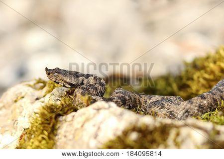 large european venomous snake basking in natural habitat ( the nose horned viper Vipera ammodytes one of the most dangerous snakes in Europe )