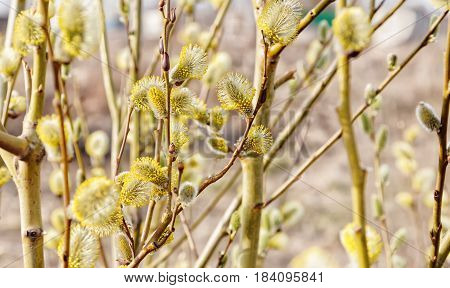 Spring Willow.