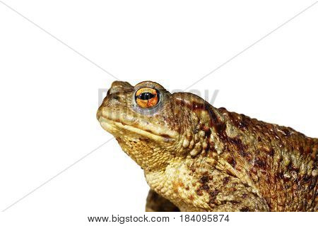 closeup of brown common toad ( Bufo ) isolated over white background