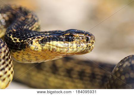macro portrait of beautiful european blotched snake one of the largest reptiles in Europe ( Elaphe sauromates )