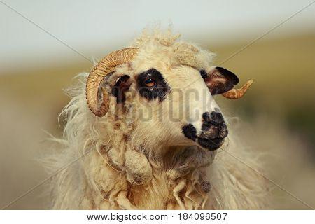 portrait of big domestic ram at the farm