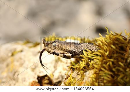 portrait of nose horned viper showing its tongue ( Vipera ammodytes )