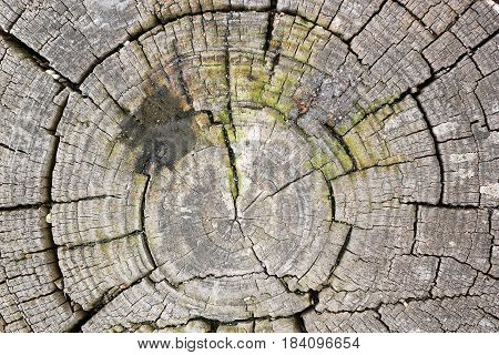 texture of tree heart with diesel oil blotch annual rings of wood