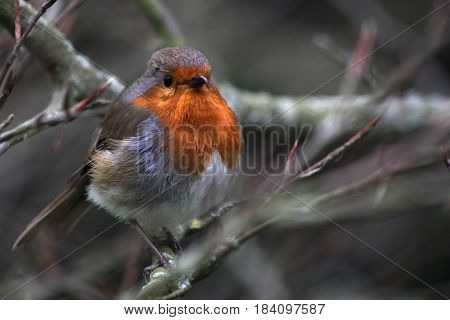 A Red-breasted robin perched on a tree branch