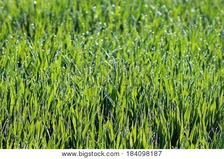 green crop field with dewdrops in backlight