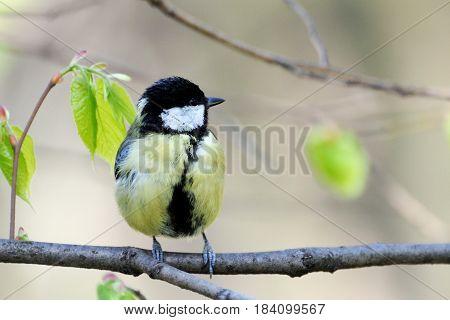 Beautiful bird  titmouse on a branch .