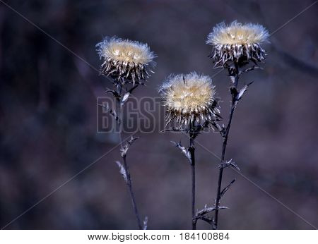 Donkey thistle at moon ligh and violet background