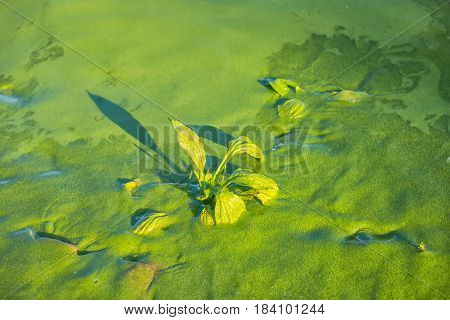 concept of water pollution environmental with river is covered green duckweed and plant