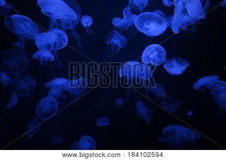 Jellyfishes with illuminated light swimming in aquarium