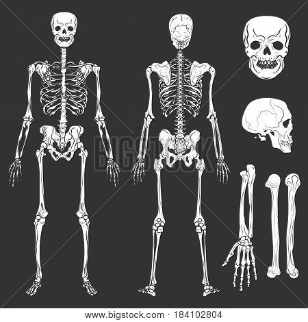 Human body skeleton bones and joints. Vector isolated flat icons of skeletal parts structure in front and back view for medical anatomy or archeology and Halloween design element