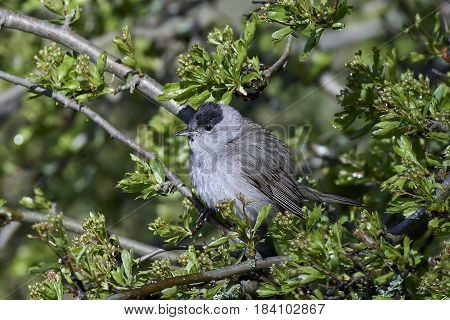 Eurasian blackcap resting on a branch with vegetation in the background