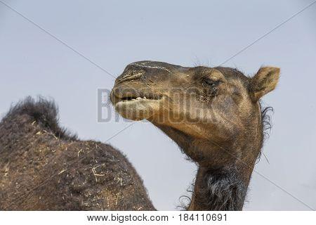 camels in a desert of Liwa in Abu Dhabi