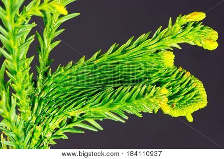 close-up of a branch of a well structured conifer, isolated in front of a dark background
